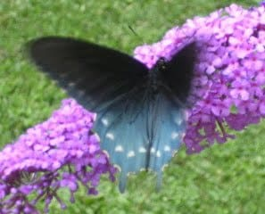 Busy with butterflies