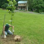 jessica james plants sycamore treee
